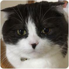 😿 ・ 帰宅したら#にゃんこ のおめめが💦 ・ ずっと一緒にいる母は気付かなかったと😓 ・ ちゅんは春になると アレルギーで#涙目 になるけど… ・ #くぅ までアレルギー⁇? ・ #スコティッシュフォールド #スコ#ねこ #愛猫 #スコ部  #scottishfold #tomcat #cat  #neko #pet #kitty #catstagram  #nekostagram #petstagram #instacat #lovecat  #스코티시폴더 #고양이 #애완동물
