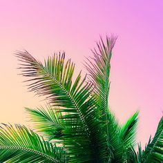 Candy Palm