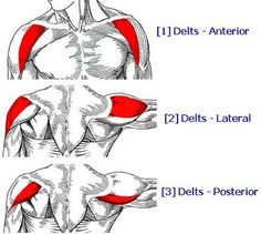 Great informative article on how to grow bigger shoulders, as the delts are often lesser trained than the upper arms and chest. Article contains videos.The deltoids are hardly talked about or known but incredibly important to tone and strengthen! Deltoid Workout, Dumbbell Workout, Kettlebell, Dumbbell Exercises, Stomach Exercises, Body Exercises, Stretching Exercises, Shoulder Workouts For Men, Shoulder Workout