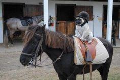 A Pug Riding A Horse