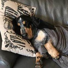 Des nouvelles de LI NA d'An Naoned   (Luciole) Femelle Basset bleu de Gascogne née le 07/09/15 (Houston d'An Naoned x Frog d'An Naoned)  Mme Bernard Guillet  #basset #bassetbleudegascogne #cute #dogsleeping #dogslife #bassetforlife #bassetlove #bassetlovers #doggy #dog #pet #chien #cani #dogpics #petpics #amourdechien #doglove #dogmasternews