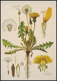 Taraxacum officinale - the dandelion - Haslinger Botanische Wandtafeln. Isn't it funny how everything seems beautiful when such meticulous attention is paid to it?