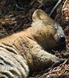 Même quand il dort, le quokka sourit et est l'animal le plus heureux du monde