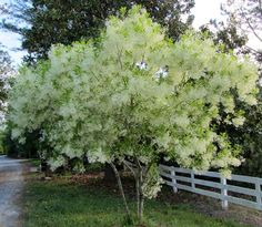 Chionanthus virginicus - Fringe Tree - Zone - ft high - ft spread - comes in white Flowering Shrubs, Trees And Shrubs, Trees To Plant, Dwarf Trees, Garden Trees, Garden Plants, Garden Shrubs, Fringe Tree, Shrubs For Privacy