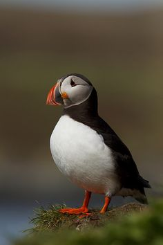 Lunni Puffin, makes me think of Alaska. :-)