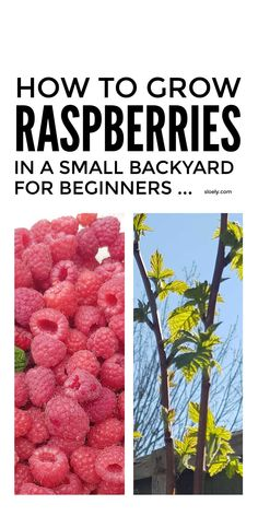 How to grow raspberries in a small space in even the tiniest garden or backyard including raspberry growing tips for beginners for a bumper grow your own berry harvest grown from free cuttings. #growingraspberries #growraspberries #growyourownraspberries #growingfruit #fruitgrowing #growyourownfruit Organic Gardening, Gardening Tips, Raspberry Canes, Rotten Fruit, Growing Raspberries, Soil Improvement, New Green, Grow Your Own Food, Cuttings