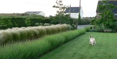 lavender and grasses as low hedge in cao perrot garden