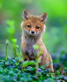 Red fox cub by Nick Kalathas Cute Baby Animals, Animals And Pets, Funny Animals, Beautiful Creatures, Animals Beautiful, Fuchs Baby, Fox Pups, Fox Pictures, Cute Fox