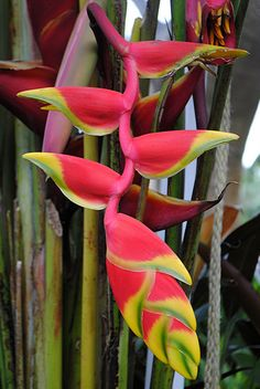 Lobster claw Heliconia... only nature can do that! by jungle mama, via Flickr