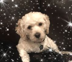 Check out Ellis   Tx's profile on AllPaws.com and help him get adopted! Ellis   Tx is an adorable Dog that needs a new home. https://www.allpaws.com/adopt-a-dog/bichon-frise/6178729?social_ref=pinterest