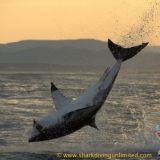 Photos of great white sharks breaching Taken by Shark Diving Unlimited, Browse through our amazing photos. Shark Diving, Sharks, Underwater Creatures, Great White Shark, Hai, Cool Photos, Shark Cage, Gallery, Animals