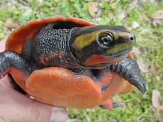 Red-bellied Short-necked Turtle, Emydura subglobosa