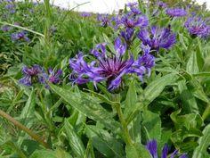 Alpencentaurie (Centaurea alpina)