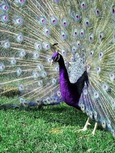 Purple Peafowl <<< I've never seen a peacock that looked like this before! I hope this isn't a photo shop shot cause I love the colors. Purple Peacock, Peacock Bird, Peacock Feathers, Indian Peacock, Peacock Colors, Peacock Eggs, Peacock Decor, Pretty Birds, Beautiful Birds
