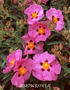 Purple Rock Rose (Cistus x purpureus) - Monrovia - Good drought tolerant flowering shrub,