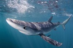 Blue shark (Mary O'Malley) Shark Conservation, Blue Shark, Deep Blue Sea, Marine Life, Whale, Education, Underwater Photography, Nova Scotia, Sharks