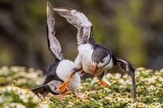 Young People's Award, 12-18 years. Rebecca Bunce (age 18): 'Kung Fu Puffin', Skomer Island, Pembrokeshire, Wales.