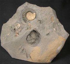 Dorset fossil
