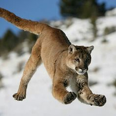 Cougar in motion