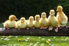 Ducklings on Log
