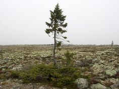 Is This the Oldest Living Tree? This Norway Spruce in Sweden has roots that are over 9,000 years old