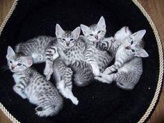 エジプシャンマウ 子猫