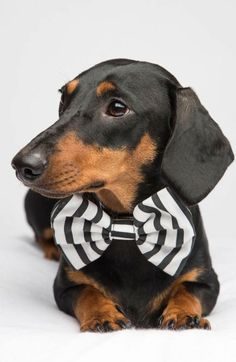 Dashing Dachshund I #Doxie I #DachshundLovers I #ForTheLoveOfDog