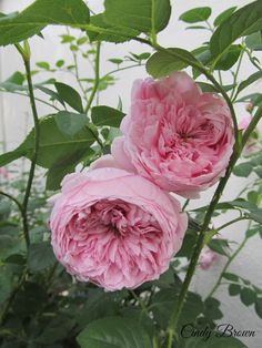 David Austin Rose, Spirit of Freedom.  Not only is it gorgeous, but smells Heavenly too!