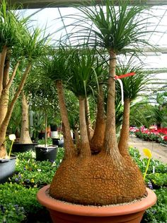 Amazing Unusual Plants To Grow In Your Garden Succulent Bonsai, Cacti And Succulents, Planting Succulents, Cactus Plants, Garden Plants, Planting Flowers, Unique Trees, Unusual Plants, Exotic Plants