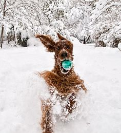 Hilarious and Heartwarming Photos of Dogs in Snow - Irish Setter having a ball. Love My Dog, Vida Animal, Mundo Animal, Irish Setter, Beautiful Creatures, Animals Beautiful, Funny Animals, Cute Animals, Snow Dogs