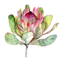 Protea Flower Botanica Art   - Art Print Watercolor 8''x10'' south africa flower green pink purple red nature botanical art nature plant (15.00 USD) by Goosi