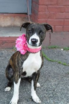 RETURNED AFTER 1 DAY!!! TOTALLY HEARTBREAKING!! SUPER URGENT Brooklyn Center DUTCHESS – A1075837 **RETURNED AFTER 1 DAY, 06/9/16** FEMALE, BR BRINDLE / WHITE, AM PIT BULL TER MIX, 8 mos RETURN – ONHOLDHERE, HOLD FOR ID Reason NO TIME Intake condition EXAM REQ Intake Date 06/09/2016, From NY 11229, DueOut Date 06/09/2016