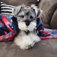 See this Instagram photo by @schnauzerworld • 400 likes