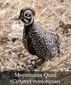 The Montezuma quail is seven inches in length and is a small, shy, stocky bird w. Weird Birds, Zoo Art, Game Birds, Bird Pictures, Colorful Birds, Little Birds, Bird Species, Bird Watching, Bird Art