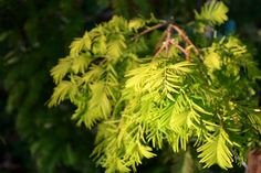 Golden Dawn Redwood   Metasequoia glyptostroboides 'Goldrush'