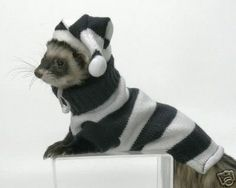 funny ferrets | Funny Ferrets Dressed Up New Photos & Wallpapers | All Funny