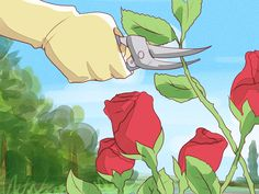 Knockout roses are a relatively low-fuss rose variety, but they still need regular pruning in order to maintain their beauty and health. You need to prune the plants once in the early spring and, to a lesser degree, throughout the entire...