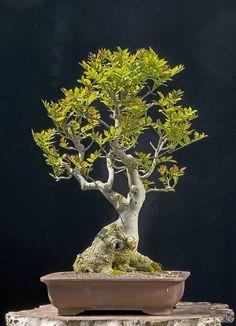 Bonsai Fraxinus (fresno americano)