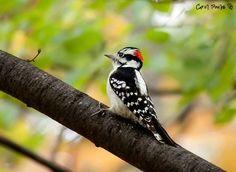 downy woodpecker  - Carol Poulos