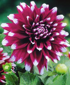 Dalie Mistery Day -  #fiori e #giardinaggio - #bakker