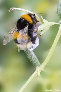A Bumble Bee. Photo By: Alessandro Serresi I Love Bees, Birds And The Bees, Beautiful Creatures, Animals Beautiful, Cute Animals, Buzzy Bee, Bees And Wasps, Bee Art, Beautiful Bugs