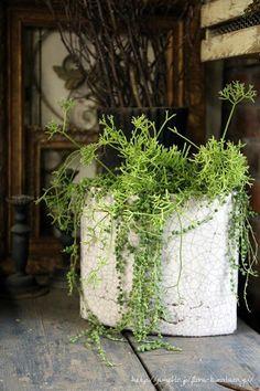 フローラのガーデニング・園芸作業日記-多肉植物 寄せ植え リプサリス 緑の鈴