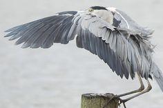 Blauwe reiger, Heron. Landing op een paaltje. Foto: Adri de Groot. http://www.vogeldagboek.nl