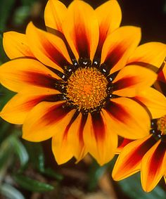 Gazania Gazania flowers, also known as African daisies or treasure flowers, are heat-loving annuals that are sometimes grown as perennials in warm climates