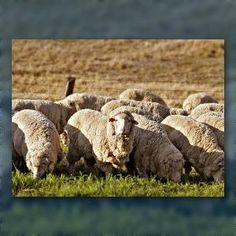 Nutritional and climatic Factors Involved in Wool Production by Merino Sheep