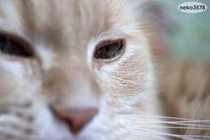 *ネコ顔アップ!* 猫 メインクーン - http://iyaiyahajimeru.jp/cat/archives/63266
