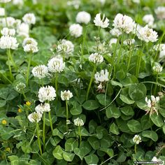 This legume is a vigorous, easy-to-grow clover that will produce large, white blooms. White Clover is often planted in the western part of the US as both a spring and fall cover crop. Perennial. (Trifolium repens)