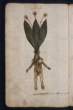 Mandragora, 1500 MS. Canon. Misc. 500 fol. 026v, Italian, Bodleian Libraries, Oxford University