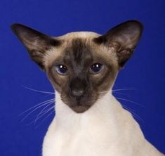 Types of Siamese Cats - Traditional and Modern Type