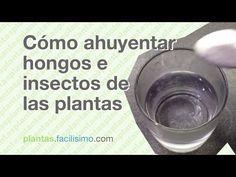 Cómo ahuyentar hongos e insectos de las plantas   facilisimo.com - YouTube